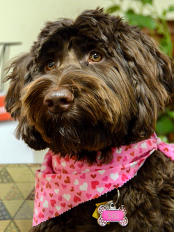 Braown Labradoodle with pink scarf
